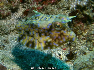 Cow fish by Helen Hansen 